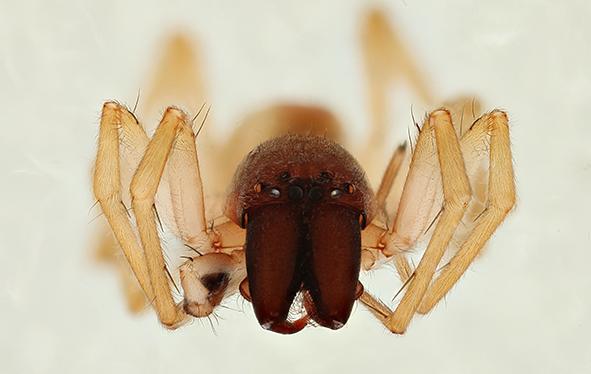 Närbild på spindeln Clubiona juvenis