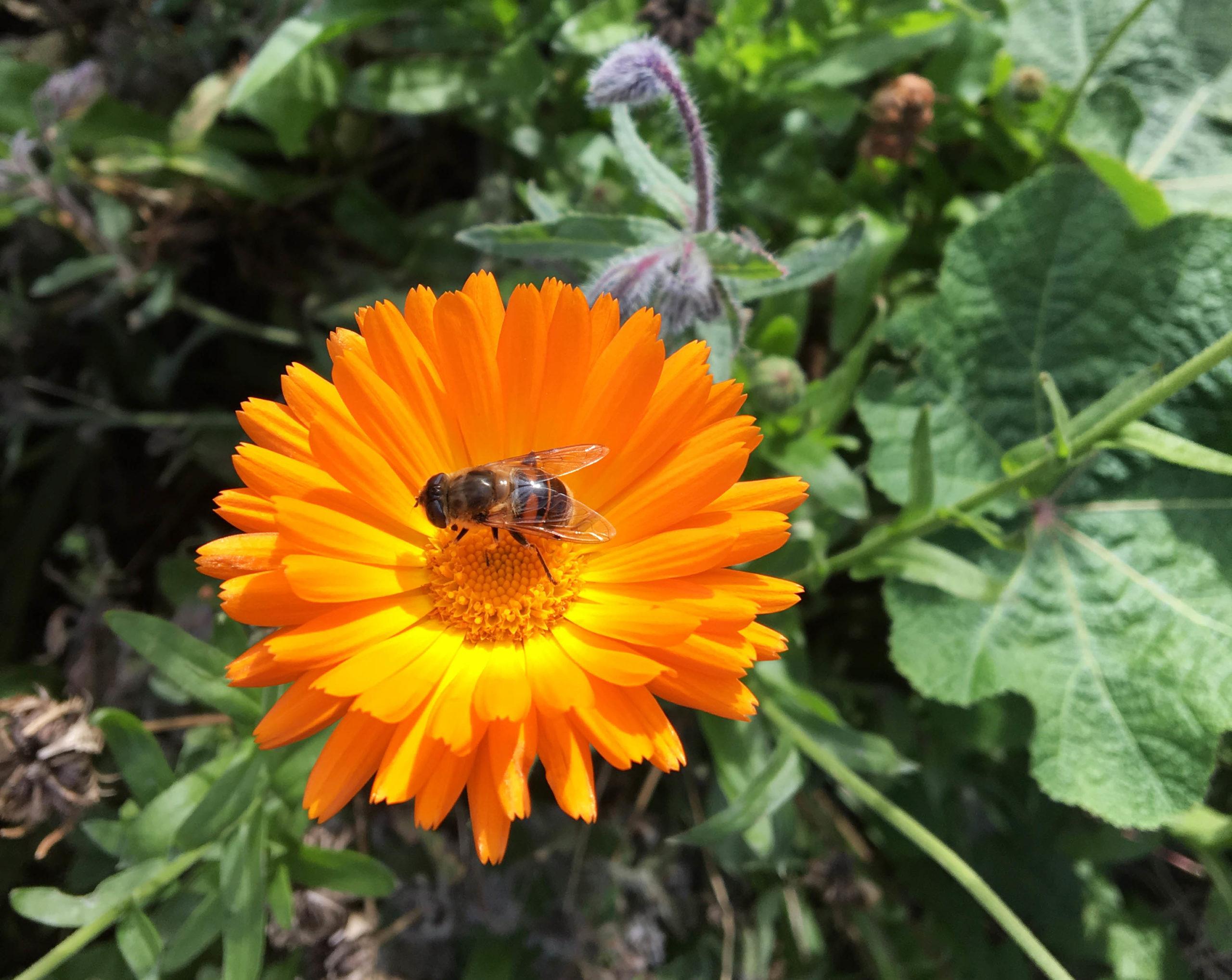 Blomfluga på en ringblomma